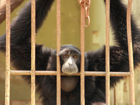 anthropoid: Sad chimpanzee hanging behind a cage in a zoo