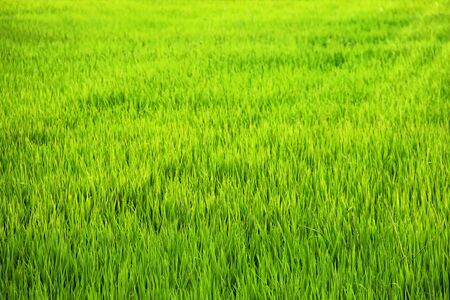 Natural green rice field in a rural farmland Stock Photo