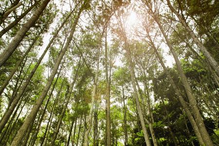 pinewood: Beautiful scenery of pinewood forest