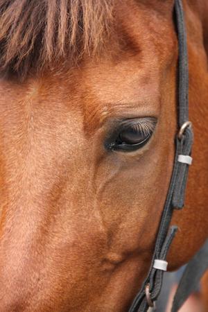 face close up: Close up portrait of a horse face