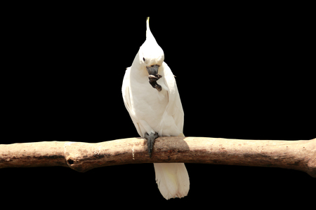 A white cockatoo parrot sitting on a tree branch, isolated on black Stock Photo