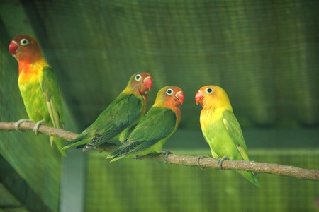 Colorful lovebird parrots in a cage