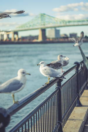 18 month old: Birds on the Railing  with Jacques-Cartier Bridge of Montreal Quebec Canada Background