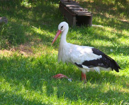 Stork sits on green grass