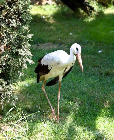Stork on green grass