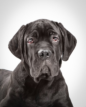 studioshot: Cane corso puppy on a white background