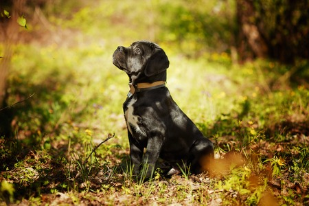 Puppy Cane Corso Italian Mastiff black color on the background of nature