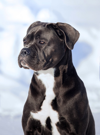 molosse: Portrait of a Cane Corso winter outdoors