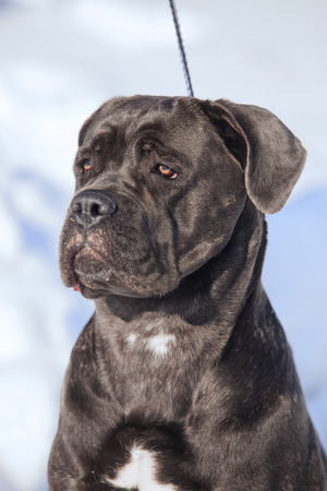 Portrait of a Cane Corso winter outdoors