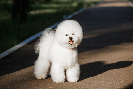 Dog Bichon Frise with a white coat on a background of nature