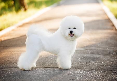 自然の背景に白い被毛を持つ犬ビションフリーゼ
