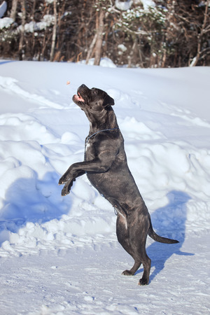 Big dog Cane Corso winter jumps and plays Stock Photo