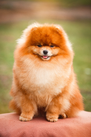 cute dogs: German spitz red color on a background of nature