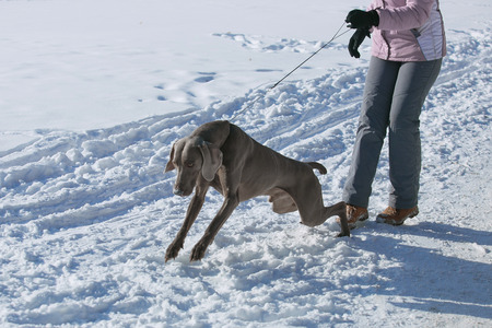 Hunting pointer weimaraner winter in the snow with handler