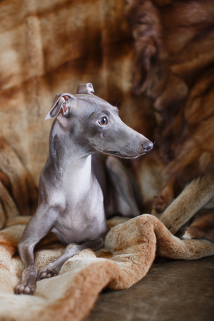 greyhound: Playful Italian Greyhound on a couch with a chew toy Stock Photo