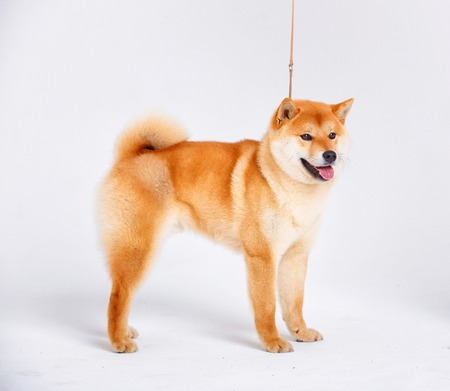 canis: Japanese Shiba Inu dog in front of a white background Stock Photo