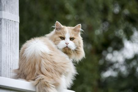 persian cat: Persian cat sitting on wood railing outdoors.