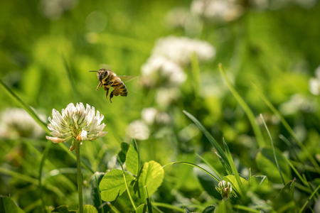 clovers: Close up of wild bee in mid-air next to a clover flower. Summer garden shot.