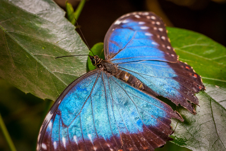 Close-up of a large beautiful blue butterfly sitting on green leafs. Stock Photo - 94672766