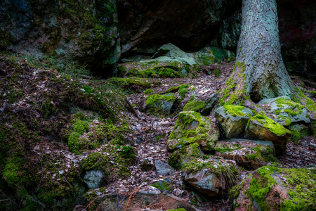 Wet forest with rocks and stones covered with green moss, pine tree in the background. Stock Photo - 100858065