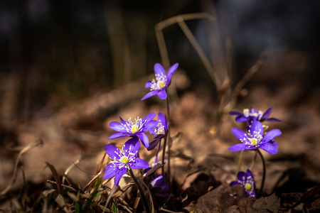 Light shining on purple scilla flowers in a forest glade early spring. Stock Photo
