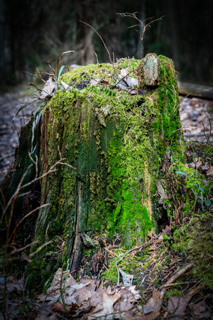 Close-up of a tree stump with green moss in the forest with sunlight. Stock Photo - 100858066