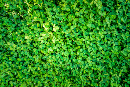 Green outdoor pattern of clover leafs from above. Stock Photo