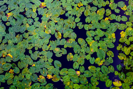Many green water lilies leafs seen from above. Decorative pattern of leafs and water. Stock Photo