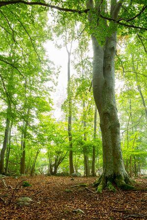 Schöne helle Herbstblattbirkenwaldszene mit einem großen Baumstamm im Vordergrund und braunen Blättern auf Waldboden.