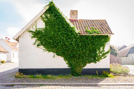 Urban city facade street view of a green creeper plant covering the wall of an residential building in Visby Gotland. Stock Photo