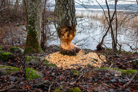 Signs of beaver activities by waters edge. Chewed tree with lots of wood chips.