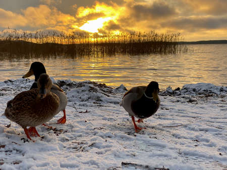 Closeup low angle winter scene with Mallard duck birds in snow at sunset by the water.
