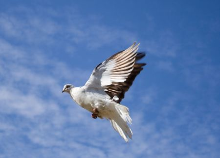 white dove fly in the blue sky with small clouds Stock Photo - 2068506