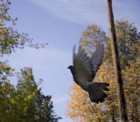 Black dove fly on autumn background fnd sky Stock Photo - 2108692