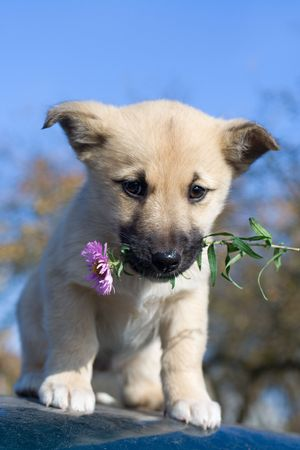 puppy dog hold flowers in mouth on blue sky background