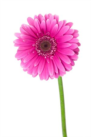 close-up single pink gerbera, isolated on white photo
