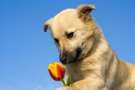 close up puppy dog  take tulip in forefoots and smelling it