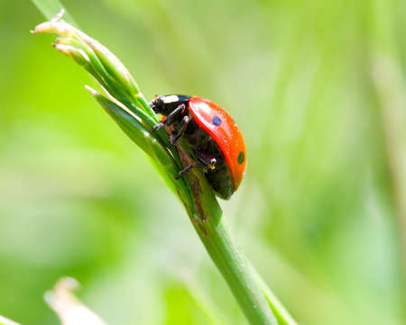 close-up ladybird on blade, on green grass background photo