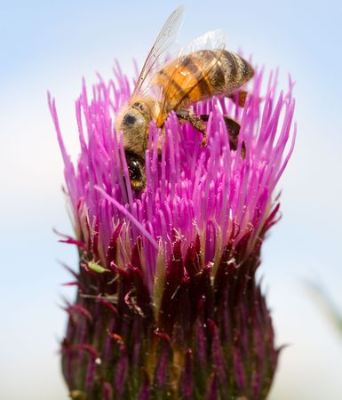 bee on clover flower collects nectar Stock Photo - 3327748