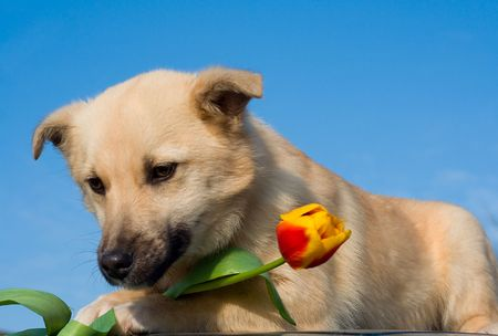 puppy dog with tulip in forefoots, on blue sky