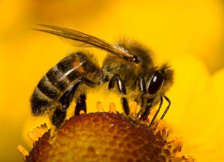 close-up honingbij op bloem verzamelt nectar Stockfoto