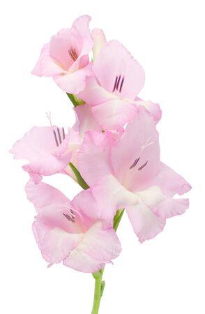 gladiolus: close-up gladiolus, isolated on white