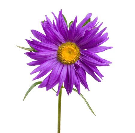 close-up violet aster, isolated on white photo