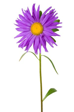 aster: fresh purple aster, isolated on white Stock Photo