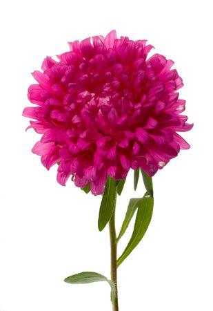 aster: close-up pink aster, isolated on white Stock Photo