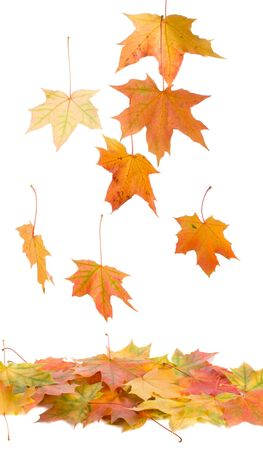 close-up fallen maple leaves, isolated on white