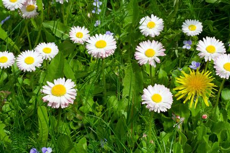 close-up daisy field on green grass background Stock Photo - 3853517