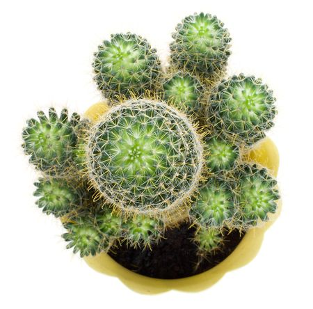 potted plant cactus: close-up green cactus, view from above, isolated on white