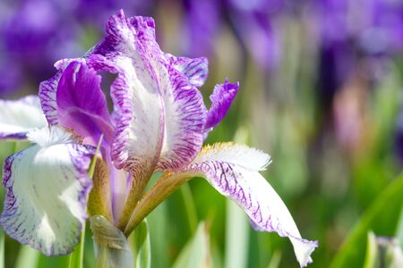 close-up iris flower on field Stock Photo - 4104072