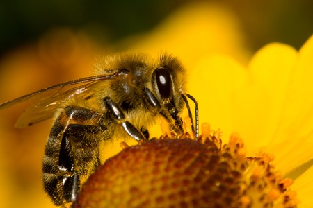 close-up bee on yellow flower collects nectar Standard-Bild